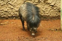 warty pig vue dessus[3].jpg