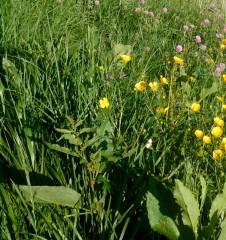 fleurs champ 2.jpg