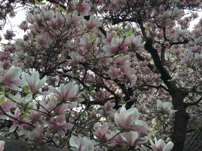 2017-03-27-magnolia.jpg